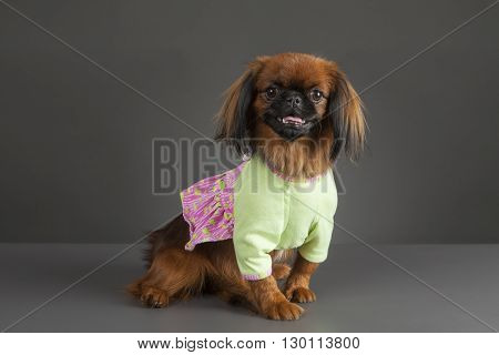Portrait of Pekingese dog with light green and pink dress on gray background.