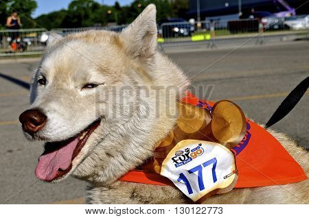 FARGO, NORTH DAKOTA-May 16, 2016: A Husky dog waits for the Furgo dog race  which is ready to start at the annual Fargo Marathon which also includes a dog, youth, 5K, 10K,half and full runs.