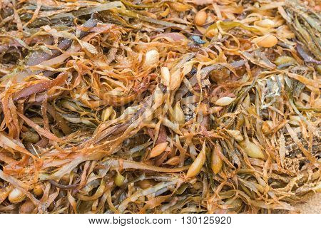 Closeup texture photo of Brown Giant kelp, tangle of pneumatocysts, stipe and blades (Macrocystis pyrifera) piled up on the seashore in Australia