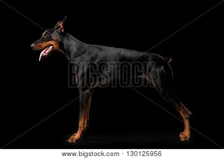 Doberman Pinscher Dog Standing and Looking in front of him on isolated Black background Side view