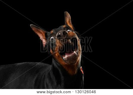 Closeup portrait of Funny Doberman Pinscher Dog Surprised Opened mouth on isolated Black background