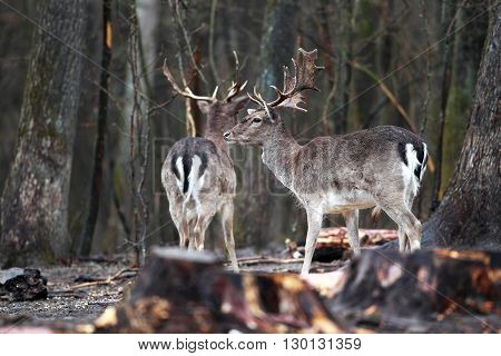 Two beautiful white-tailed deer with horns in the forest