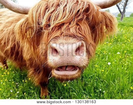 Close up of grass chewing highland cow on a green meadow which tries to look through its head of hair.