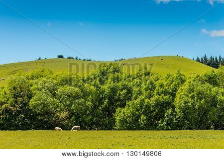 Beautiful landscape of the New Zealand - hills covered by green grass with sheep