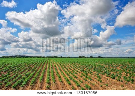Feld of potatos and cloudy blue sky. Potato field with green shoots of potatoes. Composition of Nature