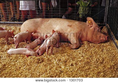 Pig And Litter