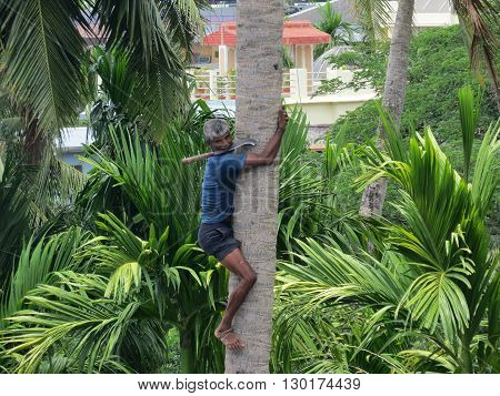 Andaman-Apr 12: A deft man climbing palm tree to trim branches and  pluck fruit in Port Blair, Andaman Apr 20, 2012 in Andaman and Nicobar Islands, India, Asia.