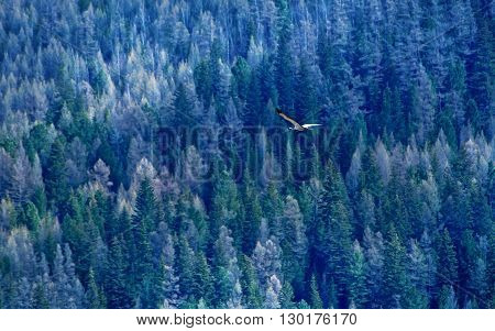 one Demoiselle crain - Anthropoides virgo flying on a blue forest background