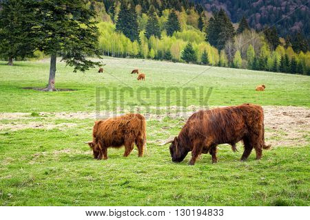 Bull And Cows In Pasture