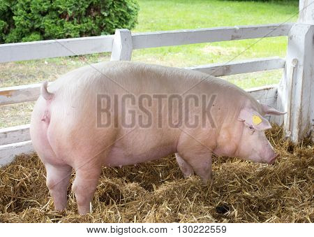 Large White Swine On Farm
