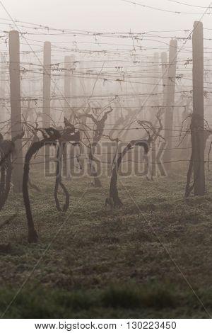 Vine trees in vineyard in early spring morning
