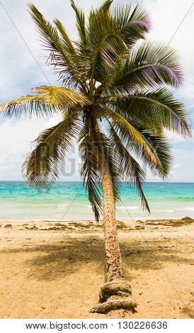 The plam tree on caribbean beach Martinique island; French West Indies.