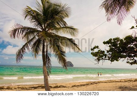 The palm tree on caribbea beach,  Martinique island , French West Indies.