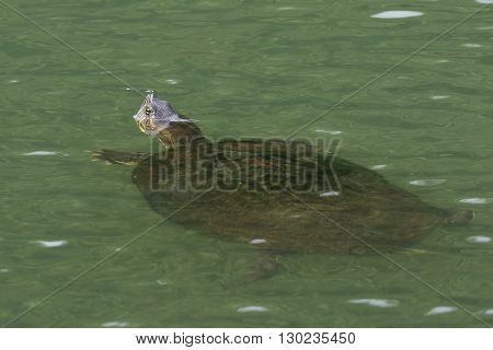 Panamanian Slider (Trachemys venusta panamensis) floating in a river - Panama