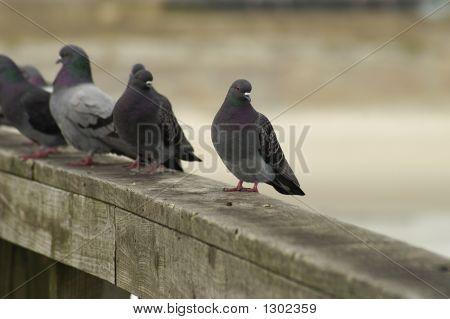 A Line Of Pigeons On A Railing