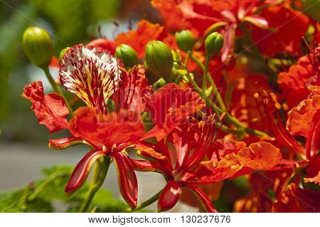 Delonix regia or Royal Poinciana or Flamboyant