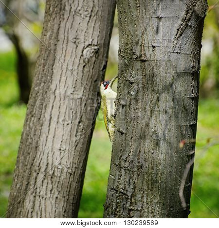 Photo of the Yaffle Bird in Sunny Day