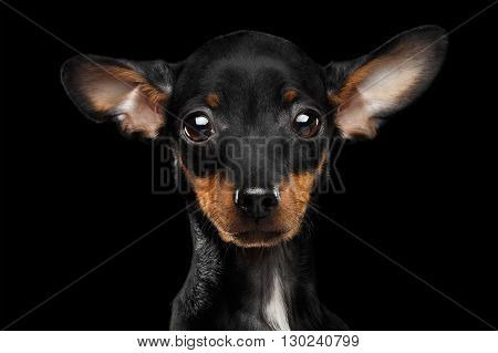 Closeup Sadly Toy Terrier Puppy Looking in Camera Isolated on Black Background