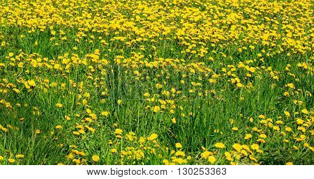 The field with yellow dandelions and a bright green grass. Spring May sunny day