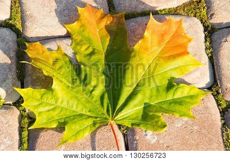 Autumn Maple Leaf On Sidewalk Close Up