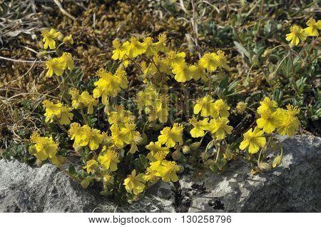 Hoary Rock-rose - Helianthemum canum growing on The Burren