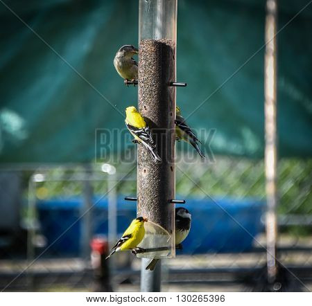 Little Yellow birds - American Goldfinches (Spinus tristis) feeding at a seed feeder as they make their new homes.