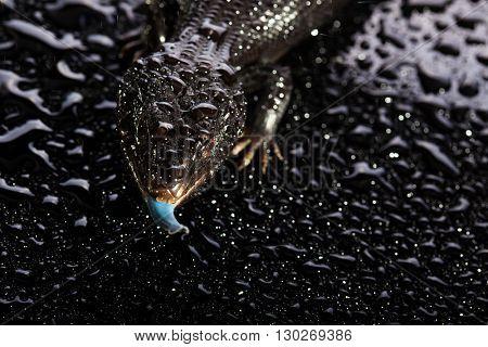 Black blue tongued lizard in wet dark shiny studio environement
