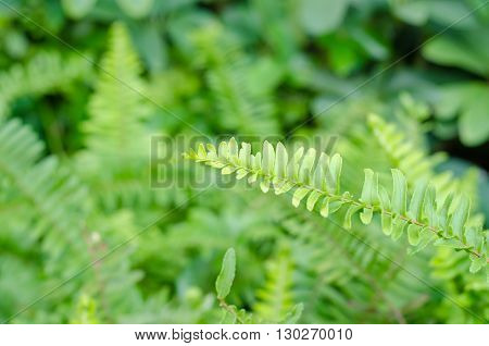 Closeup leaves of green fern Pteridophyta in the garden