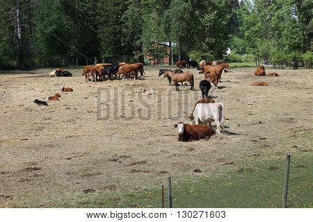 Cattle at the ranch in the spring time