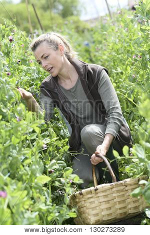 Woman checking crop yield in field row