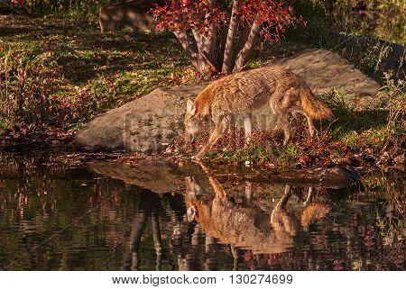 Coyote (Canis latrans) Walks Left - captive animal