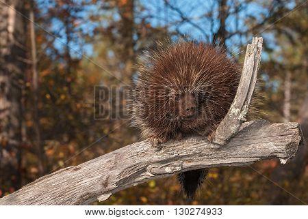 Porcupine (Erethizon dorsatum) Takes a Nap - captive animal