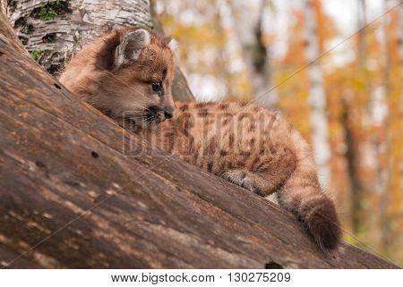 Female Cougar Kitten (Puma concolor) Sits - captive animal
