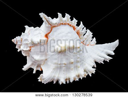Seashell murex ramosus. Seashell murex ramosus A perfect and amazing rural shell on black blackground one white shell isolated on black background