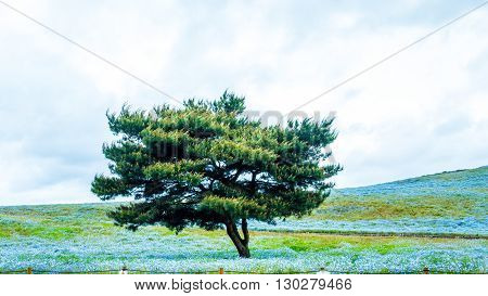 Tree And Nemophila At Hitachi Seaside Park In Spring With Blue Sky At Ibaraki, Japan