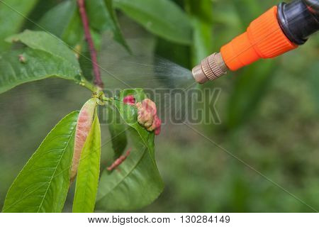 Spraying of peach fruit tree which sick leaf curl (Taphrina deformans) by fungicides