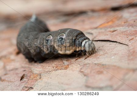 A large brown moth caterpillar on the pine bark