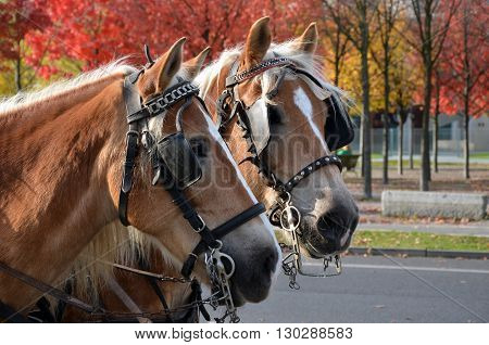 Two cart (carriage) horses wearing bridles and blinkers in city street in autumn.