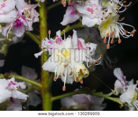 Blooming Horse chestnut Aesculus hippocastanum flowers detailed on dark background close-up selective focus shallow DOF