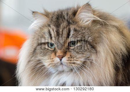 Norway Forest Cat Close Up Portrait