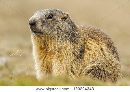Isolated Marmot Portrait