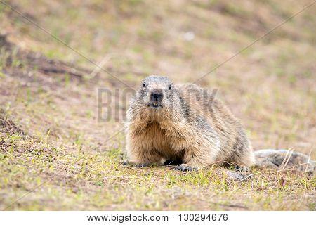 Ground Hog Marmot Day Portrait