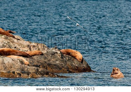 Sea Lions Resting On A Rock