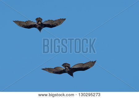 Group Od Buzzard Vultures Flying In The Deep Blue Sky