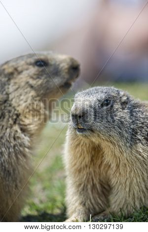 Two Marmot Ground Hog While Fighting