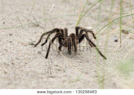 Tarantula Spider Close On The Sand Background