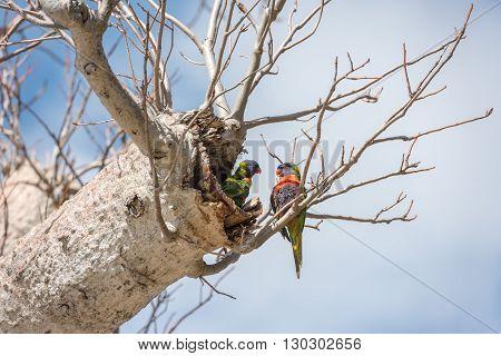 Australia Parrot On Boab Tree