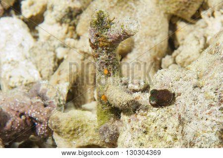 Bobcat Squid Cuttlefish Underwater