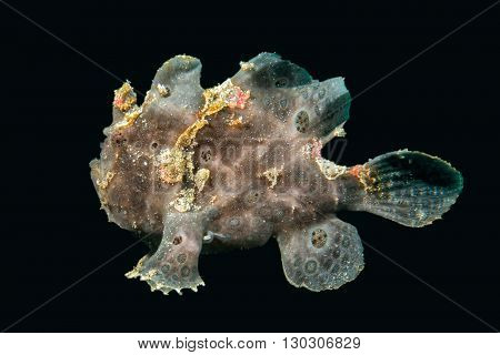 Black Big Frog Fish Underwater