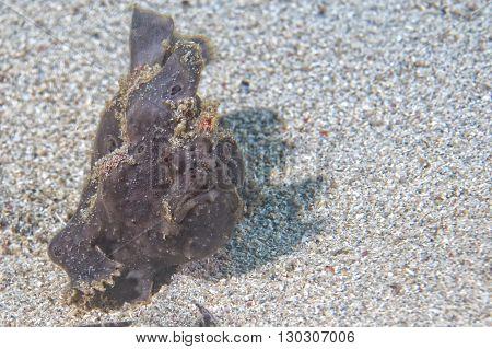 Frog Fish